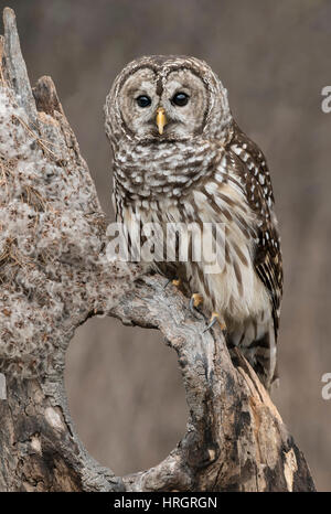 Barred Owl, Rain Owl, Wood Owl, or Striped Owl, (Strix varia) perched on limb of dead tree, Winter, E USA, - Stock Photo