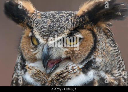 Face of Great Horned Owl (Bubo virginianus), adult, winter, Eastern USA - Stock Photo