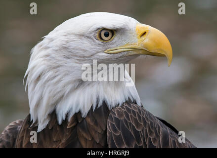 Face of American Bald Eagle (Haliaeetus leucocephalus), North America - Stock Photo