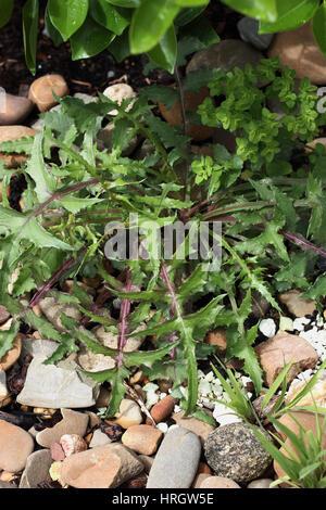 Lactuca serriola or also known as Prickly Lettuce - Stock Photo