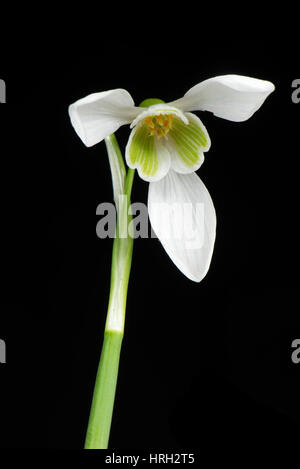 Single snowdrop, Galanthus nivalis, white and green spring flower with three outer petals and inner corolla - Stock Photo