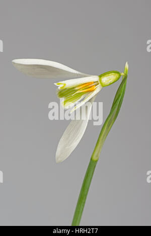 Section of snowdrop, Galanthus nivalis, flower white and green with three outer petals, corolla, ovary, anthers, - Stock Photo