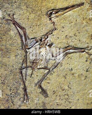 Pterodactylus - Stock Photo