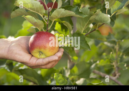 Apfelernte - apple picking - Stock Photo
