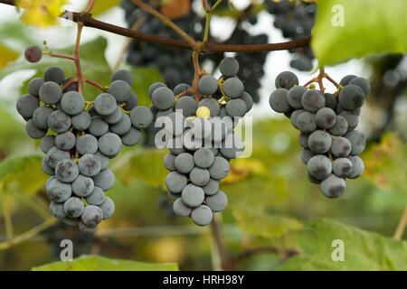 Weintrauben - grapes
