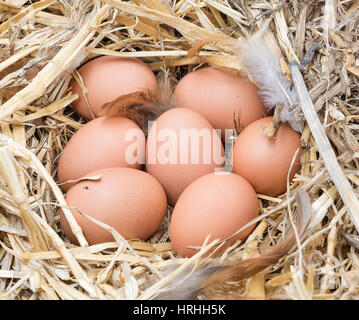 Brown chicken eggs in a straw nest. - Stock Photo