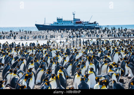 Giant king penguin (Aptenodytes patagonicus) colony and a cruise ship, Salisbury Plain, South Georgia, Antarctica, - Stock Photo