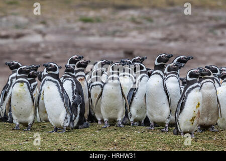 Magellanic penguin (Spheniscus magellanicus) breeding colony on Carcass Island, Falkland Islands - Stock Photo