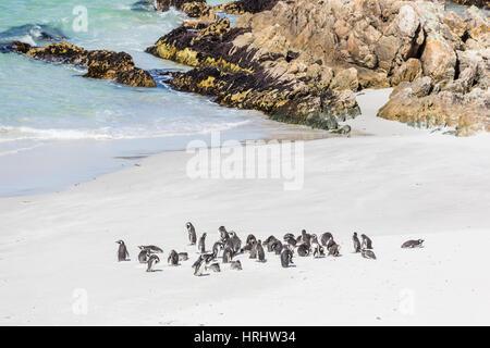 Adult Magellanic penguins (Spheniscus magellanicus) on the beach at Gypsy Cove, East Island, Falkland Islands - Stock Photo