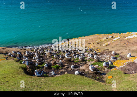 Black-browed albatross (Thalassarche melanophris) breeding colony on Saunders Island, Falkland Islands - Stock Photo