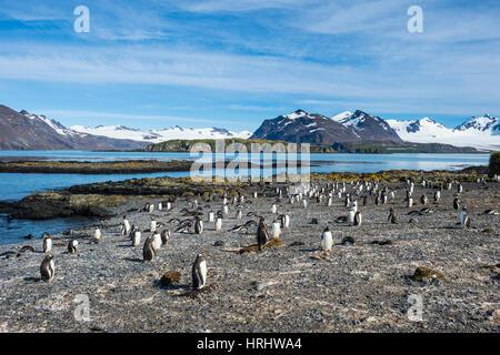 Gentoo penguins (Pygoscelis papua) colony, Prion Island, South Georgia, Antarctica, Polar Regions - Stock Photo