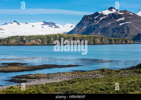 Gentoo penguin (Pygoscelis papua) colony, Prion Island, South Georgia, Antarctica, Polar Regions - Stock Photo