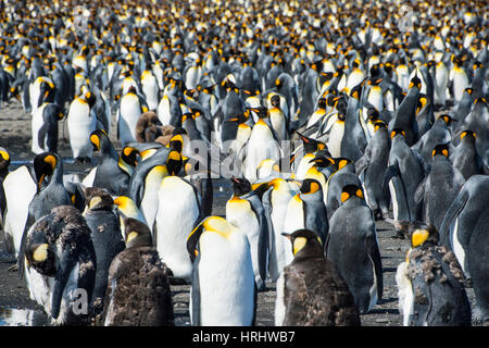 Giant king penguin (Aptenodytes patagonicus) colony, Salisbury Plain, South Georgia, Antarctica, Polar Regions - Stock Photo