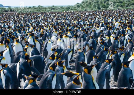 Giant king penguin (Aptenodytes patagonicus) colony, Salisbury Plain, South Georgia, Antarctica, Polar Regions - Stock Photo