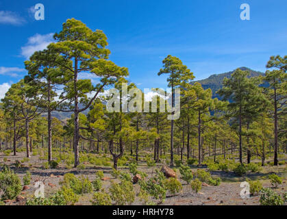 West Gran Canaria in February, hiking path through old pine forest around Integral Nature Reserve Inagua - Stock Photo