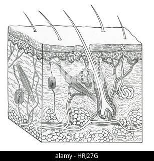Illustration of Skin Section - Stock Photo