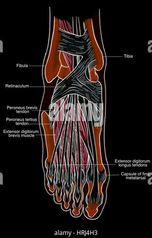 Illustration of the peroneus tertius muscle Stock Photo: 126898910 ...