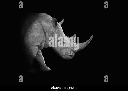 A dark monochrome portrait of a White Rhinoceros - Stock Photo