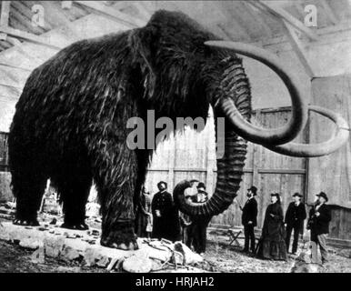 Woolly Mammoth Found In Siberia, 1903 - Stock Photo
