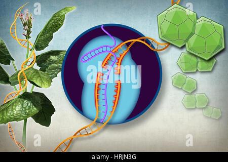 Plant Resistance to Viruses, Gene Editing - Stock Photo