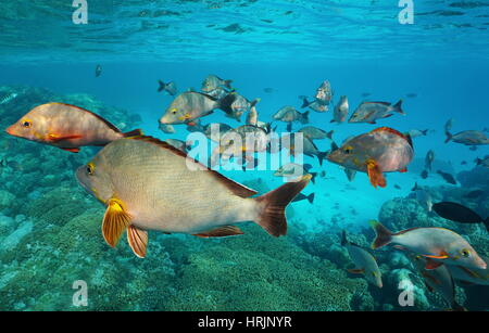 Underwater Pacific ocean shoal of fish humpback red snapper, Lutjanus gibbus, Rangiroa, Tuamotu, French Polynesia - Stock Photo