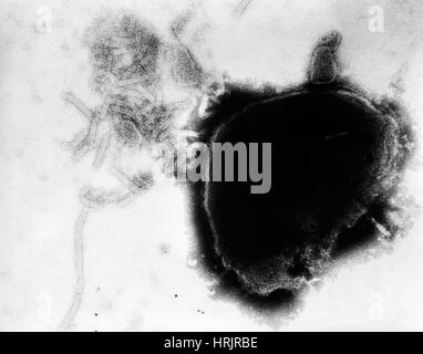 Paramyxovirus, Mumps Virus, TEM - Stock Photo