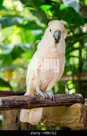 Lovely cockatoo is sitting on a branch. close up - Stock Photo