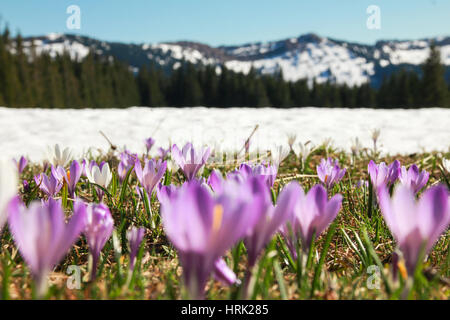 Field of wild purple crocuses. Snow covered mountains in background. - Stock Photo