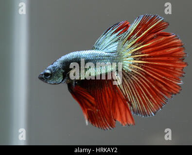 Copper halfmoon male betta splendens - Stock Photo