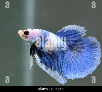 Young Halfmoon Butterfly Male Betta Splendens - Stock Photo