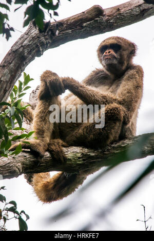 Old Northern muriqui (Brachyteles hypoxanthus) Critically Endangered of extinction, photographed in Santa Maria - Stock Photo