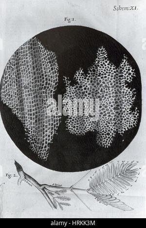 Cork Wood Cells, Illustration - Stock Photo