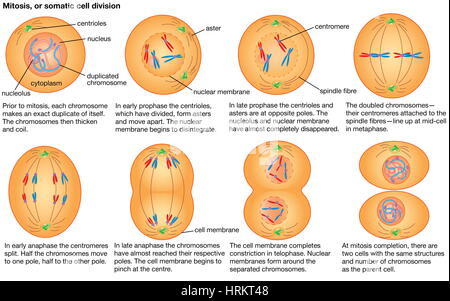 Mitosis, or somatic cell division. - Stock Photo