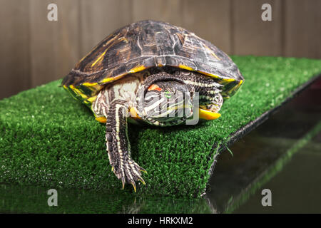 Red-eared slider turtle on the bridge with artificial. - Stock Photo