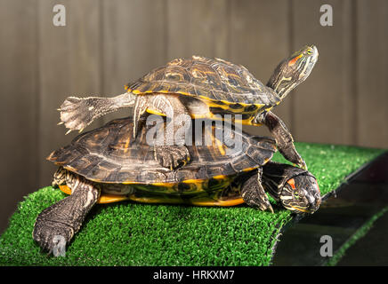 Two red-eared sliders on the bridge with artificial grass are basking under a lamp. - Stock Photo