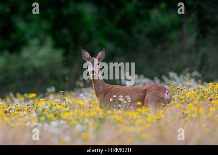 European roe deer (Capreolus capreolus) doe / female foraging in meadow with wildflowers in summer - Stock Photo