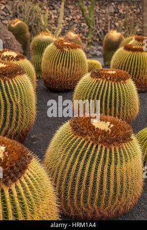 Beautiful cactus in a Cactus Garden. Lanzarote, Canary Islands, Spain - Stock Photo