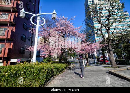 Early spring - Sakura time in Japan, blossoming cherry tree on the street near Eitai Bridge, Chuo, Chuo-ku , Central - Stock Photo