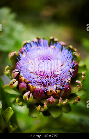 Flowering purple artichoke - Stock Photo