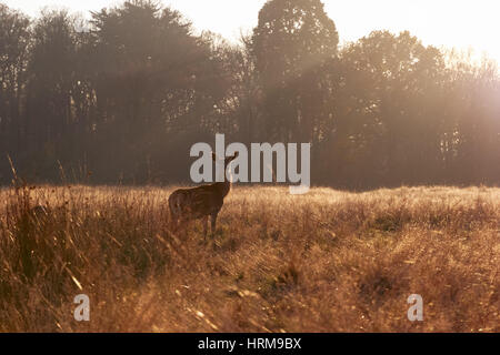 Red deer in Richmond Park, London - Stock Photo