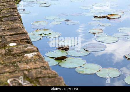 Female yellow cururu toad (Rhinella icterica) sticking its head above water in a pond covered with green leaves - Stock Photo