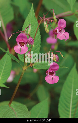 Indian Balsam Himalayan, pink red jewelweed I. Impatiens glandulifera flowers, large detailed vertical decorative - Stock Photo
