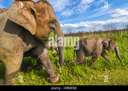 A Sumatran elephant baby walks in front of its herd in the grazing land of Way Kambas National Park, Indonesia. - Stock Photo