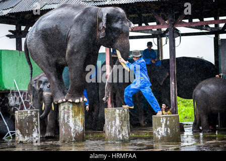An elephant balances on its legs while the trainer directing. - Stock Photo