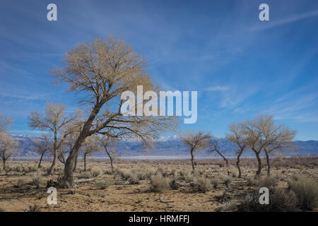 Desert tree leans from the wind on the fringe of the Mojave Desert in southern California near Lone Pine.