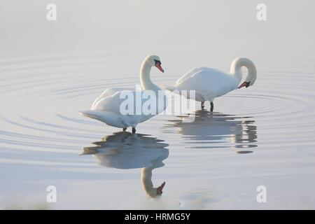 two mute swans wading in a pond with reflections and ripples in soft light - Stock Photo
