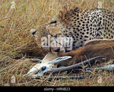 Cheetah feeding on long-horned male Thomson's gazelle (Eudorcas thomsonii) in Masai Mara Conservancies, Greater - Stock Photo