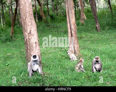Black-faced monkey (aka Indian Langur or Gray Langur) (Semnopithecus entellus) in Bandipur National Park, Karnataka, - Stock Photo