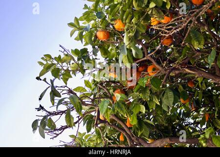 Seville oranges growing on a tree in Spain with leaves and a blue sky. - Stock Photo