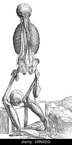 Vesalius Human Musculature Anatomy, 6 of 6 - Stock Photo